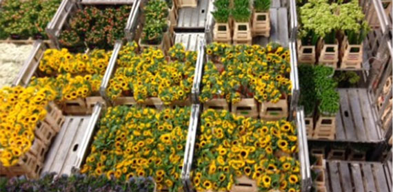 Sustainability Moves Up the Agenda for British Florists: Local Responses to Global Supply Chain Challenges