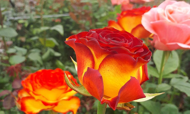 Going beyond Compliance? Driving Sustainability in the Global Cut-flower Industry
