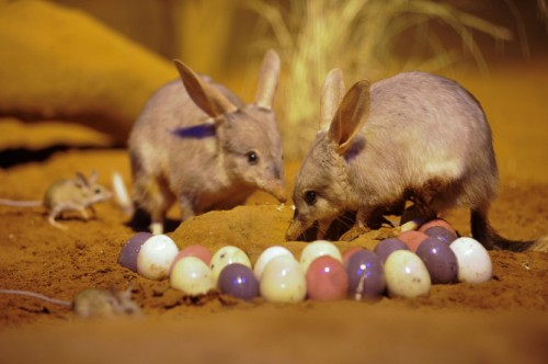 http://theconversation.com/bunnies-or-bilbies-why-animals-define-easter-13067